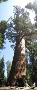 Yosemite National Park. Mariposa Grove of Giant Sequoias. Grizzlie Giant